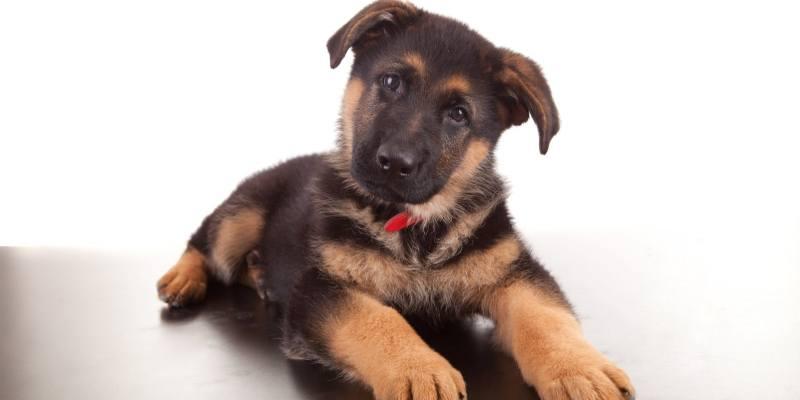 German ShepherdBrush – Buyer's Guide