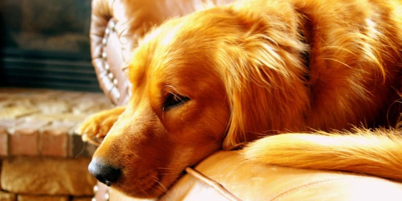 Things to Consider When Buying The Best Dog Bed for Golden Retriever