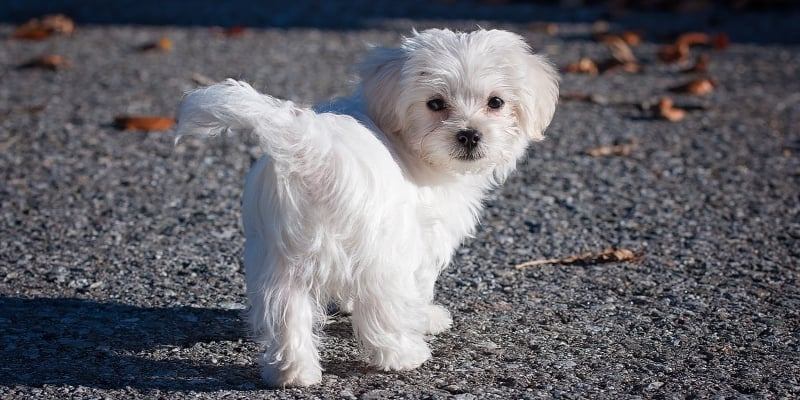 little white dog walking outdoors