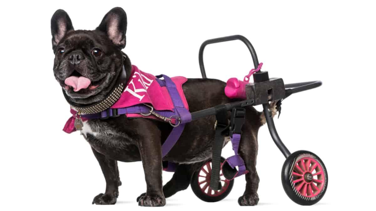 Best Dog Wheelchair 2020 (1)