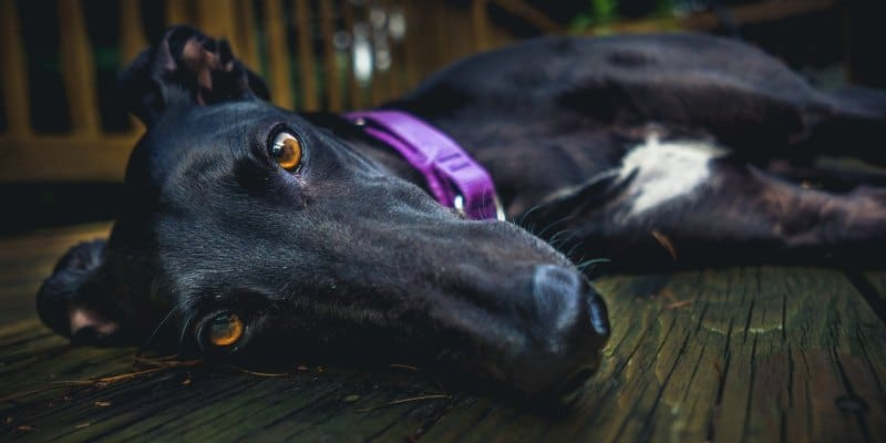 Choosing a Dog Bed for Greyhounds