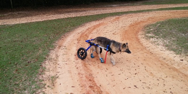 dog in wheelchair walking on a field