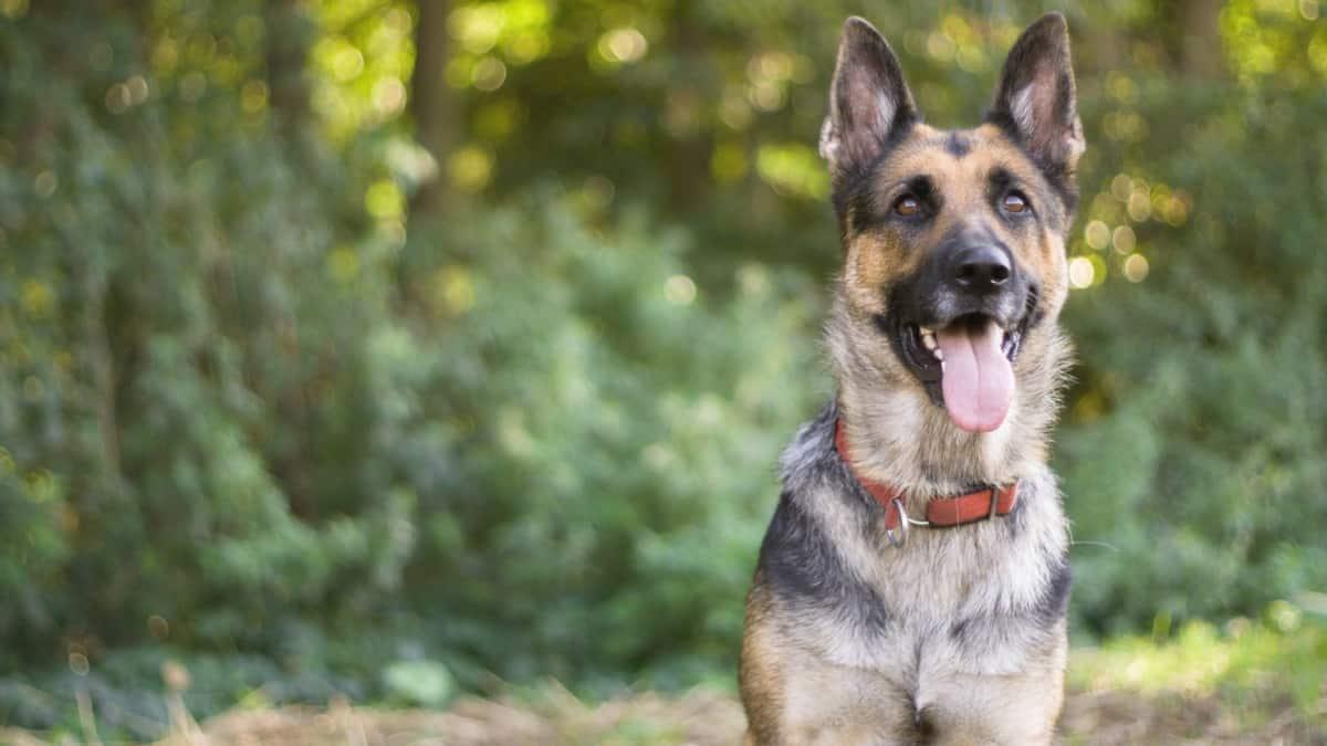 Best Collar For German Shepherd 2020 – Reviews & Buyer's Guide