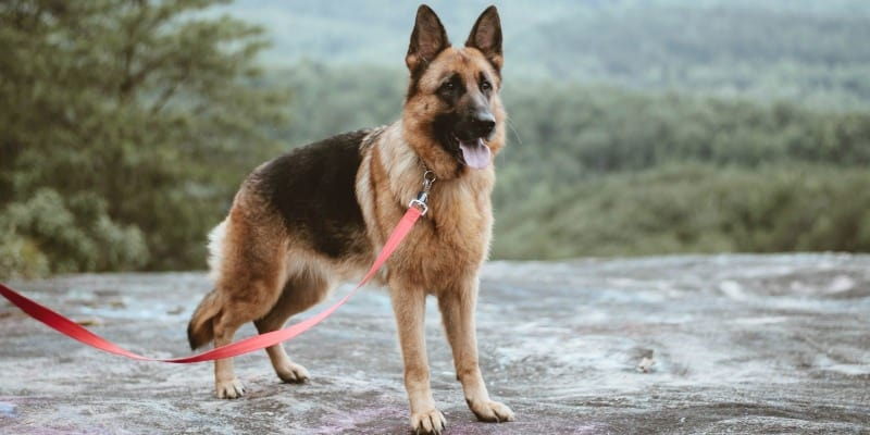 Picking the Best Collar for German Shepherds