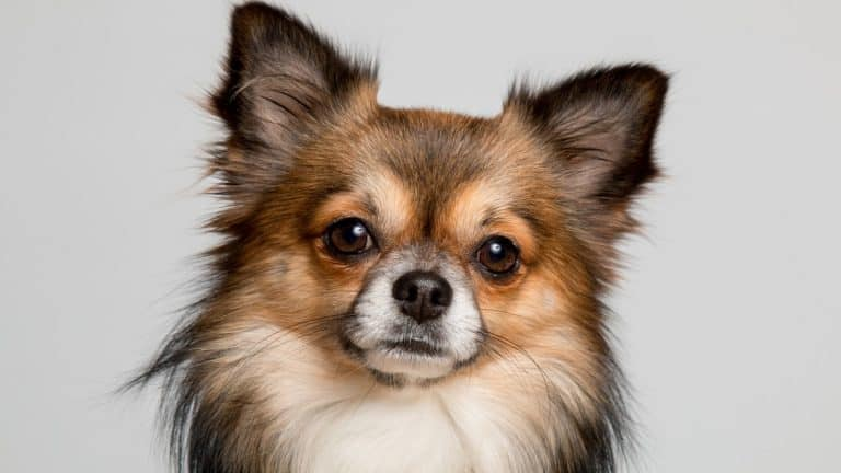 Best Harnesses for Chihuahuas 2021 – Reviews & Buyer's Guide