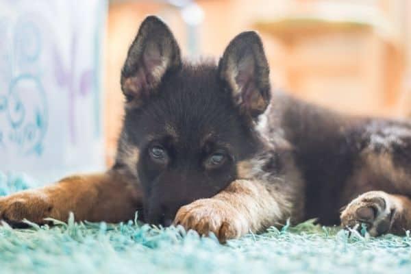German Shepherd Puppy resting on grass