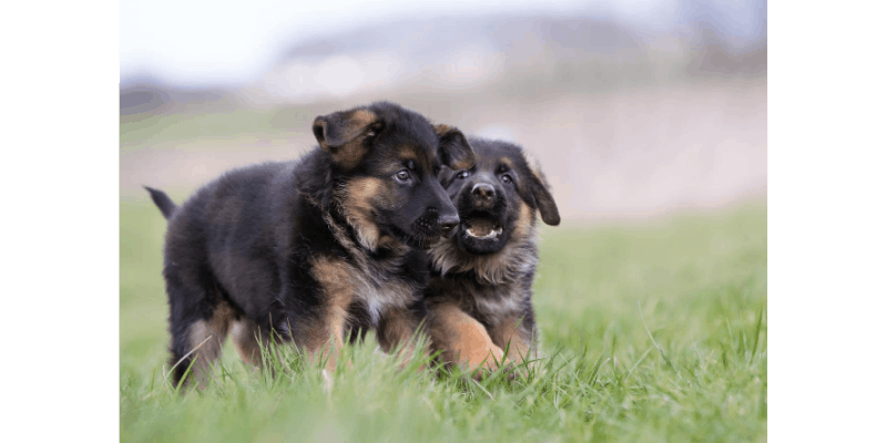 Adorable German Shepherd puppies playing
