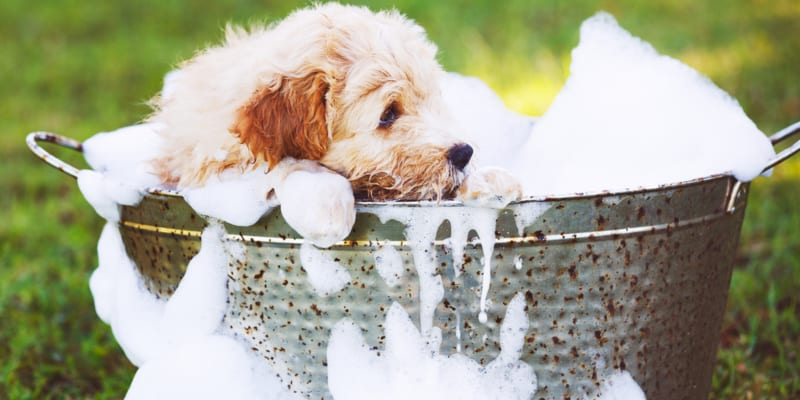 Adorable golden retriever puppy having a bubble bath outside