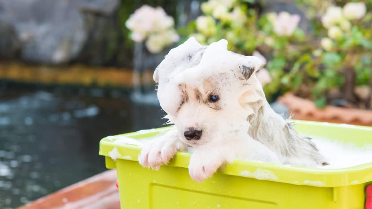 Best Dog Shampoo For Huskies