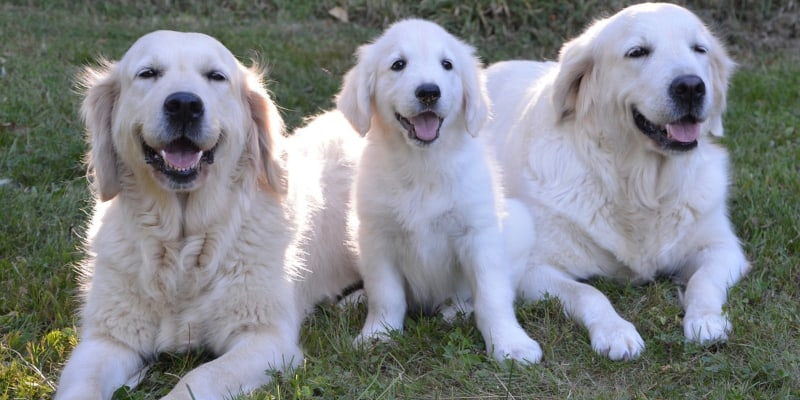 A family of golden retriever