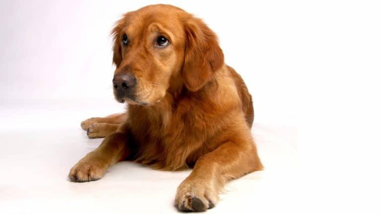 Best Dog Food For Golden Retrievers 2021 – Buyer's Guide
