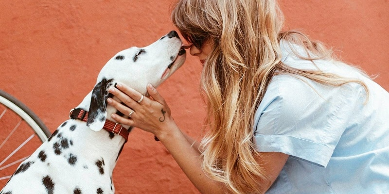 Dalmatian licking owner's face