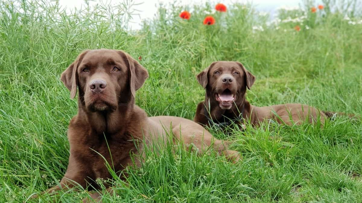 Male vs Female Labradors - What's The Difference?