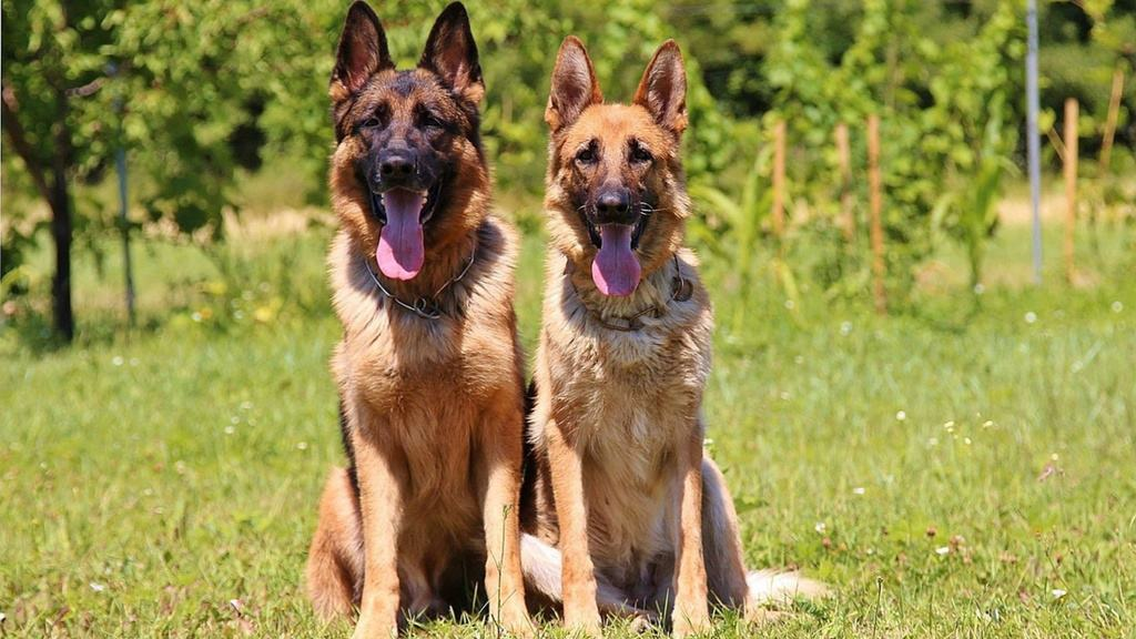 Male vs. Female German Shepherd: Which One is Right for You?