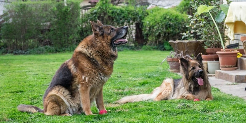 Male vs female german shepherd physical differences