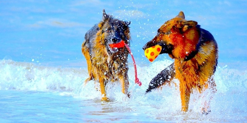 behavioral differences male vs female german shepherds