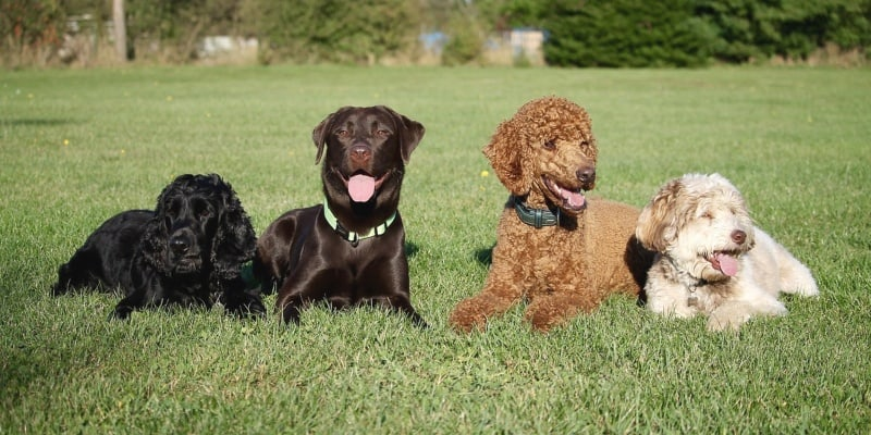 labrador with other dogs