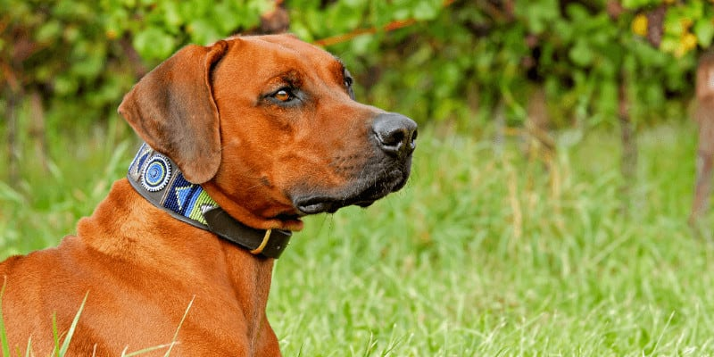 Rhodesian Ridgeback looking on