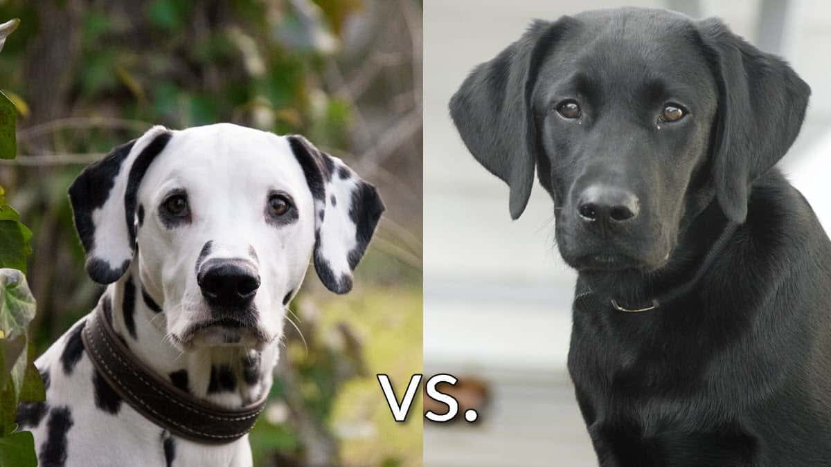 Dalmatian vs labrador retriever