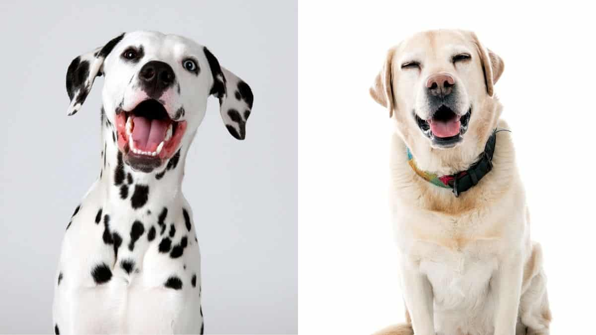 Dalmatian vs Labrador Retriever