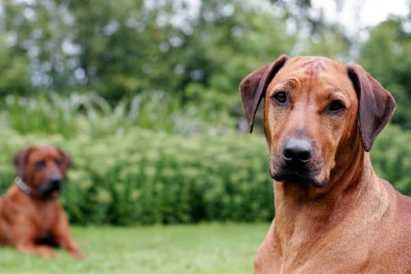 Male vs Female Rhodesian Ridgeback