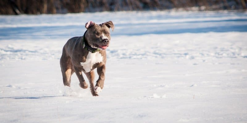 Marking and Heat - Male vs Female Pitbull