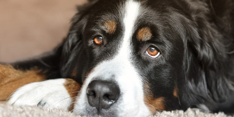 What to Consider When Buying Dog Nail Clippers for Big Dogs