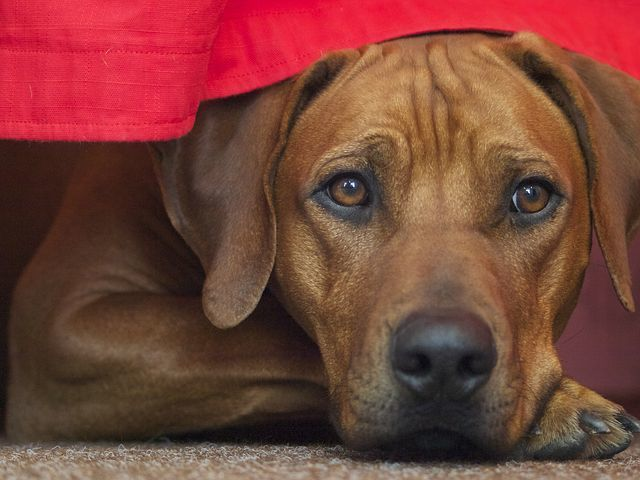 Male vs Female Rhodesian Ridgeback: Should My Family Get a Boy or a Girl?