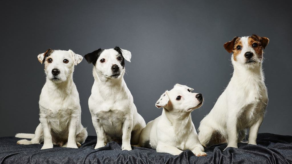 Parsons Terrier vs Jack Russell: What's the Difference and Which One is Right for You?