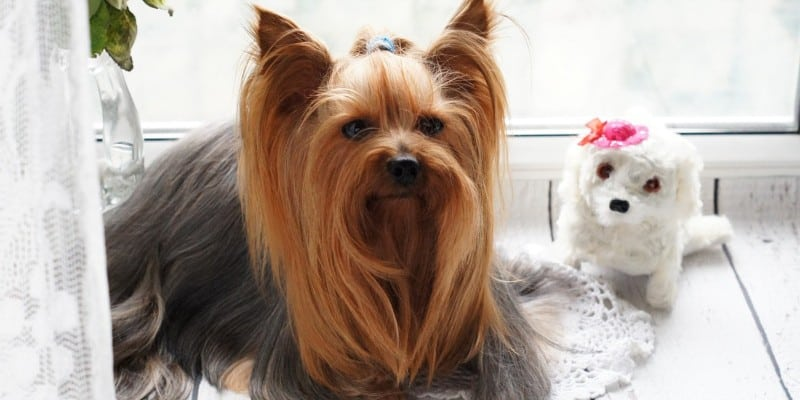 What to Consider When Buying Dog Clippers for Yorkies