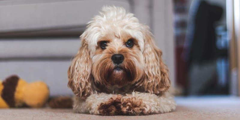 Adorable dog lying on carpet