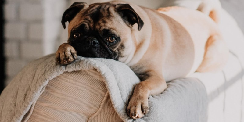 Adorable dog with cute paws lying in a couch
