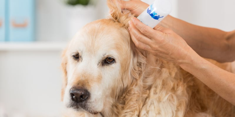 Dog's ears cleaned with ear cleaning solution