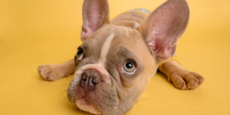 Lovely dog with big ears in yellow background