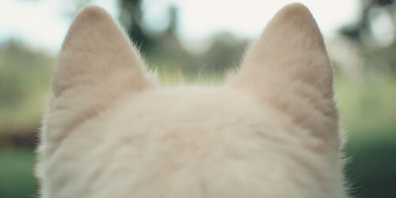 White fluffy dog ears
