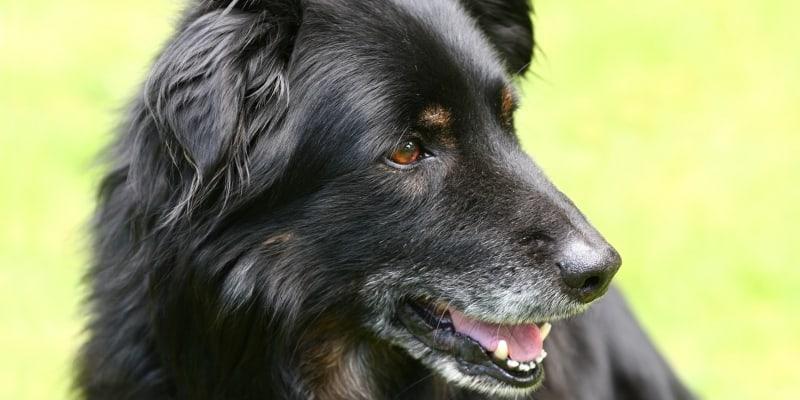 Old black dog outside