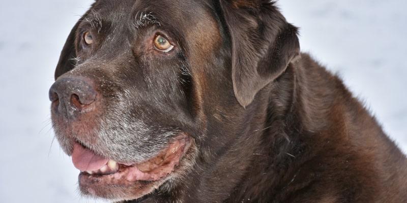 Old brown dog smiling