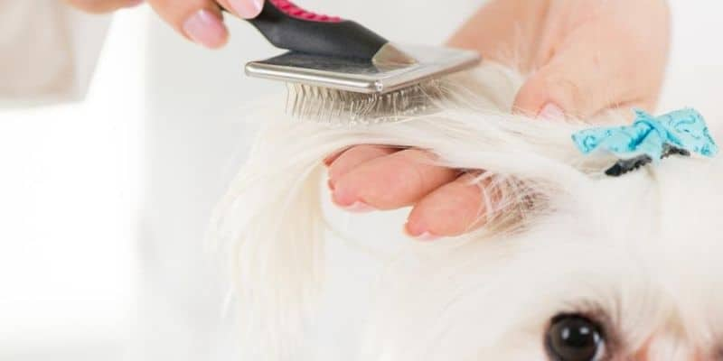 Grooming dog hair with slicker brush