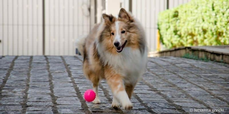 Sheltie playing with ball