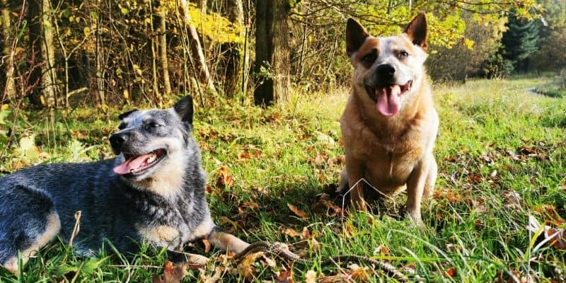 Australian cattle dogs in the forest