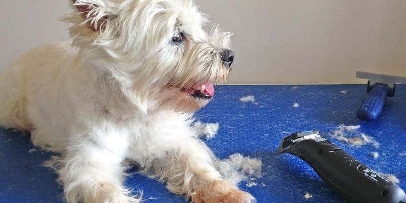 Grooming white dog with clippers