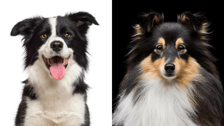 Border Collie vs Sheltie: Which One?