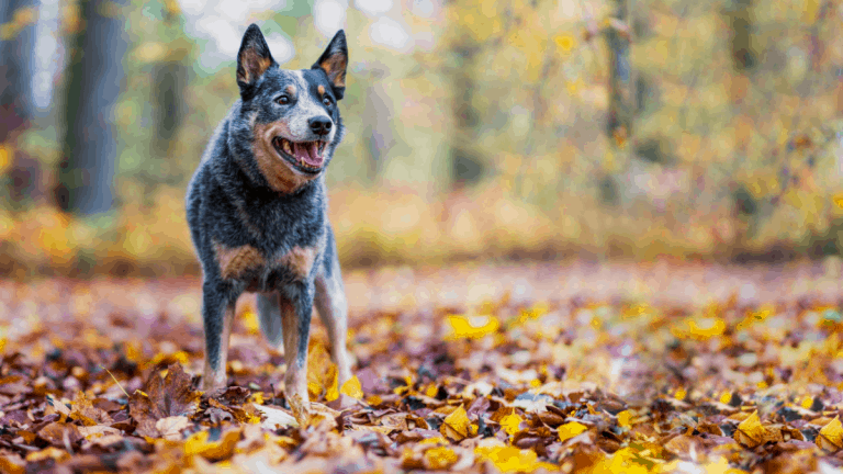 How Much Exercise Does An Australian Cattle Dog Need?