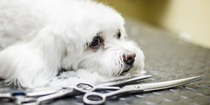 White dog lying beside grooming scissors