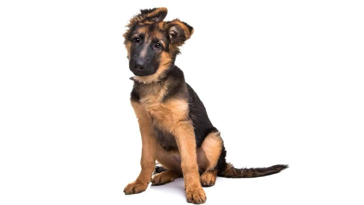 When Do German Shepherd Ears Stand Up