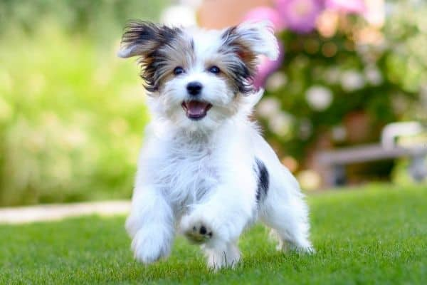 Adorable havanese dog playing outdoors