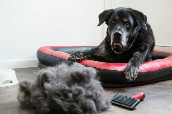 Dog on red and black bed looking at ball of dog hair and slicker brush
