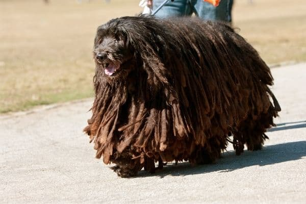 Brown dog with long hair walking outside