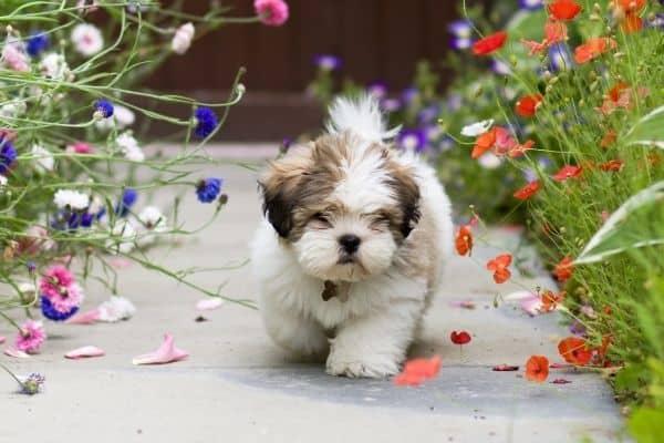Cute Lhasa Apso walking on flower garden