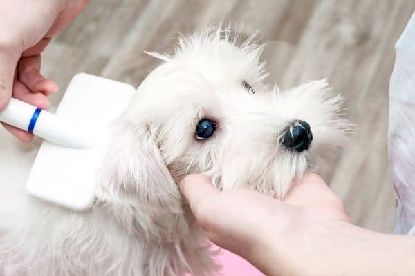 White dog groomed with bristle brush